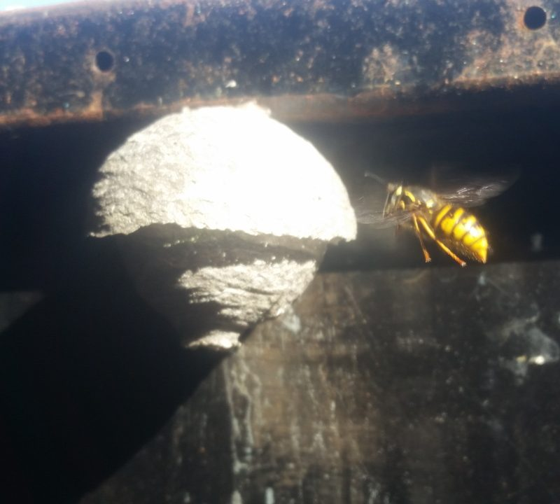 Wasp Nest Removal Queen